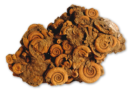 c8b1247efe0c1 Fossils for sale - Mr Woods Fossils