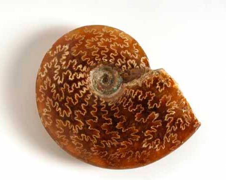 Photo of polished ammonite fossil