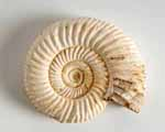 Photo of Perisphinctes fossil