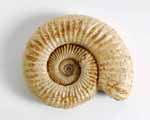 Photo of an ammonite from Charente