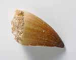 Photo of mosasaur tooth