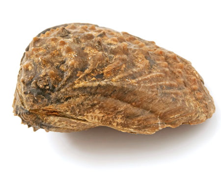 Photo of clam fossil