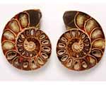 Photo of sectioned ammonite fossil