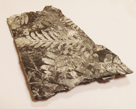 Photo of fossil fern