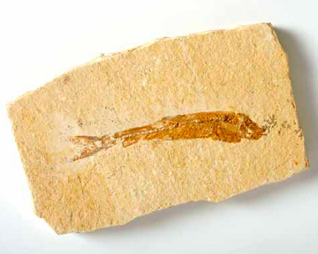 Photo of Dastilbe fossil