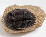 Photo of Hollardops trilobite